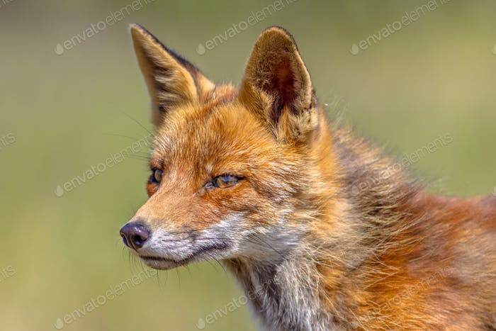 Red Fox portrait side