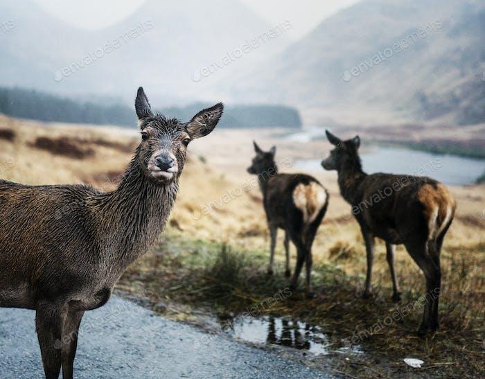 Deers on the road at Glen Etive, Scotland