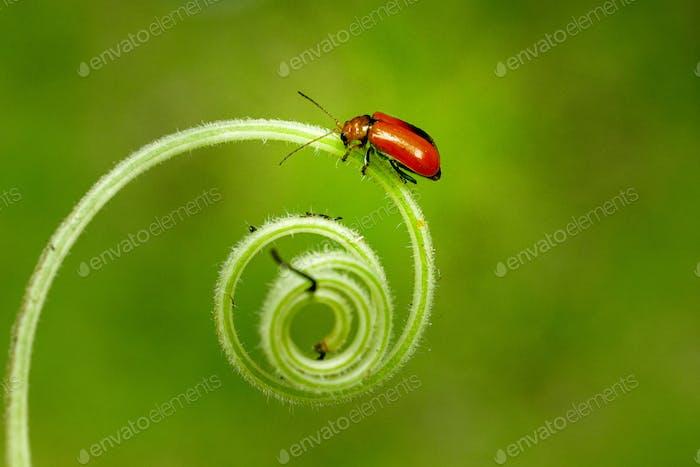 Ladybug Sitting on a Spiral Stem