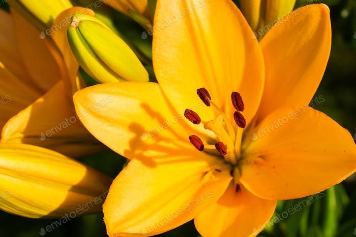 Gelbe Madonna Lilie Blume Lilium candidum mit Knospen in der Natur. Hintergrund in der Natur. Detailliert