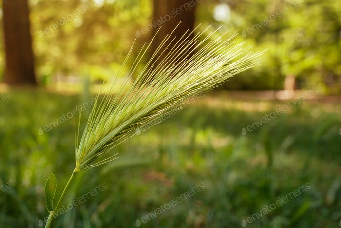 Makro von Ohr von grünem Weizen im Park.
