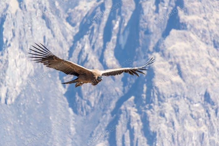 Flying Andean Condor