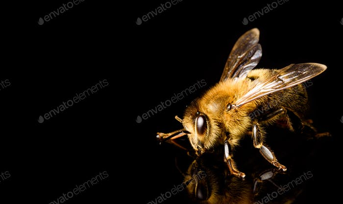 Honey bee macro, isolated on black background. Bee concept. Copy space on left