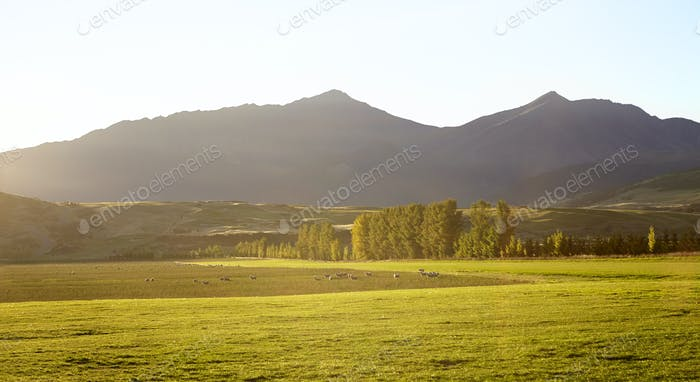 Sheep Grazing Near Queenstown In New Zealand's South Island