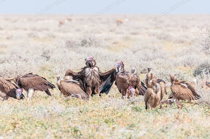 Lappet-faced vultures on the ground