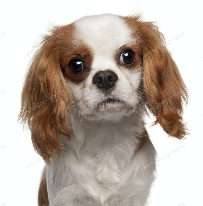 Close-up of Cavalier King Charles Spaniel, 9 months old, in front of white background