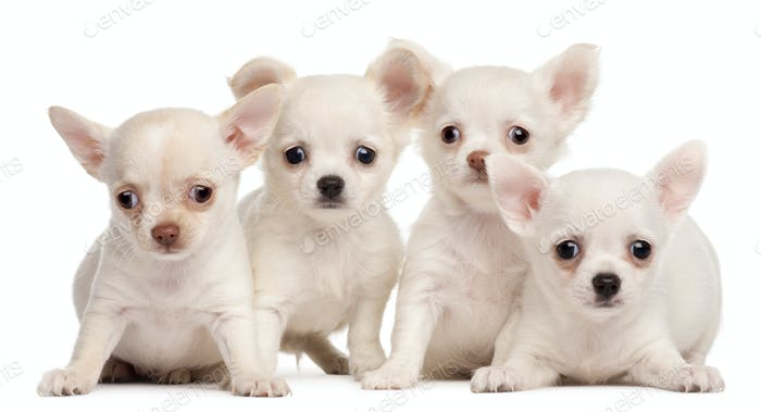 Four Chihuahua puppies, 2 months old, in front of white background