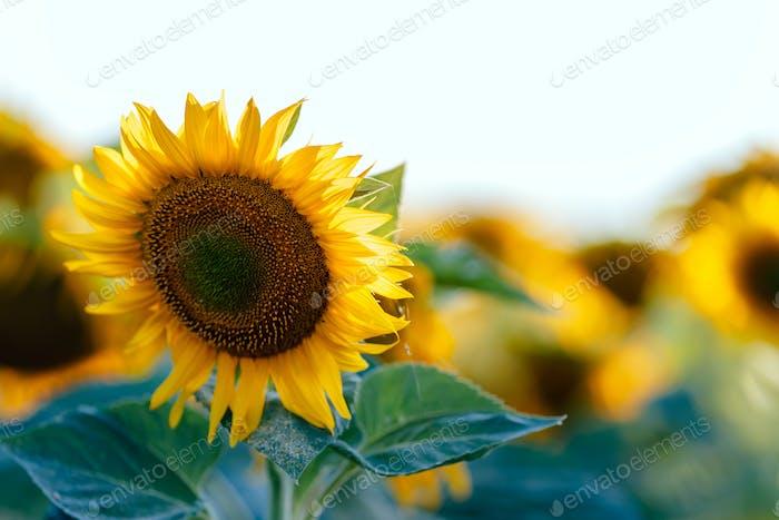 Landwirtschaftliche Pflanze, Sonnenblume