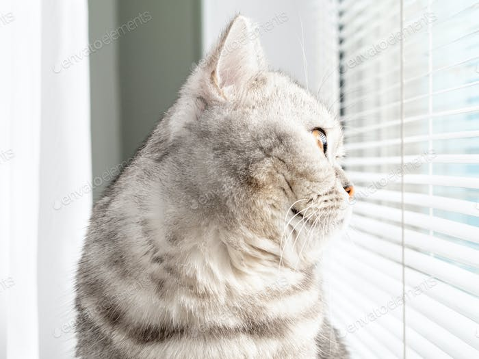 close-up profile portrait of a cat looking out the window. Scottish tabby color