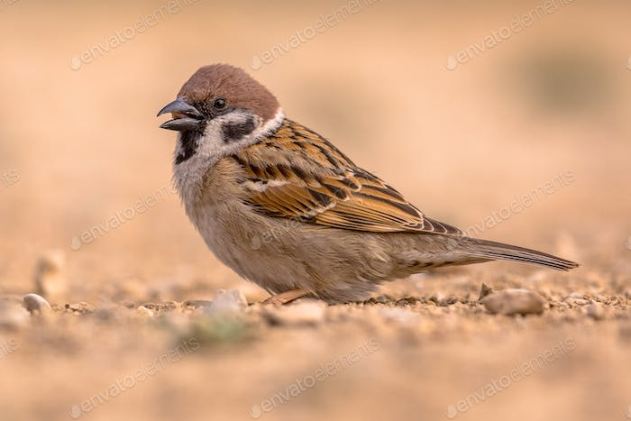Tree sparrow foraging