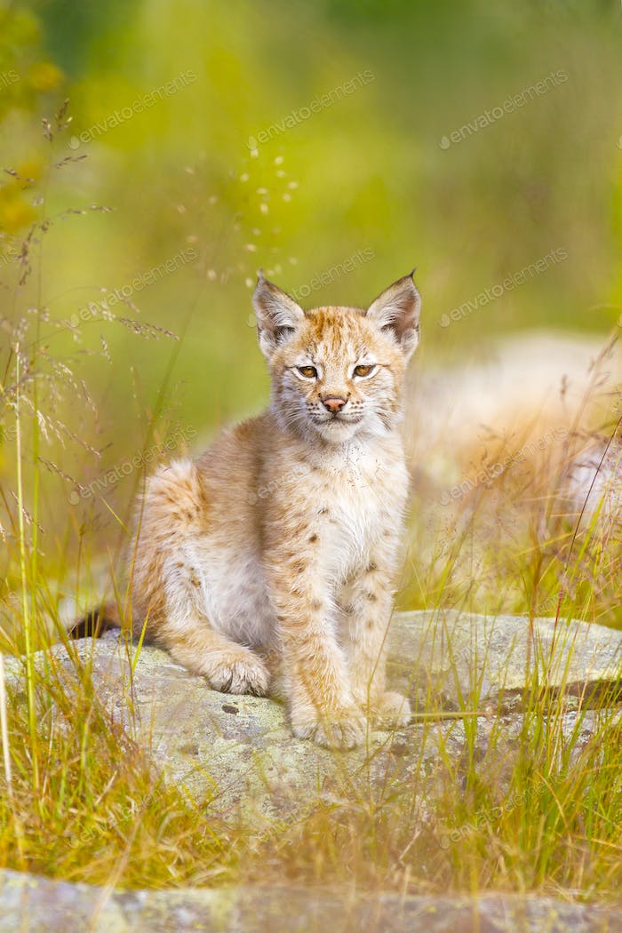 Cute lynx cub sits in grass