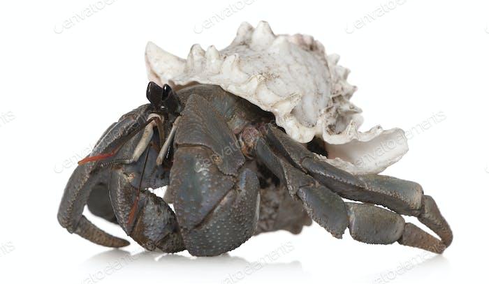 Hermit crab against white background