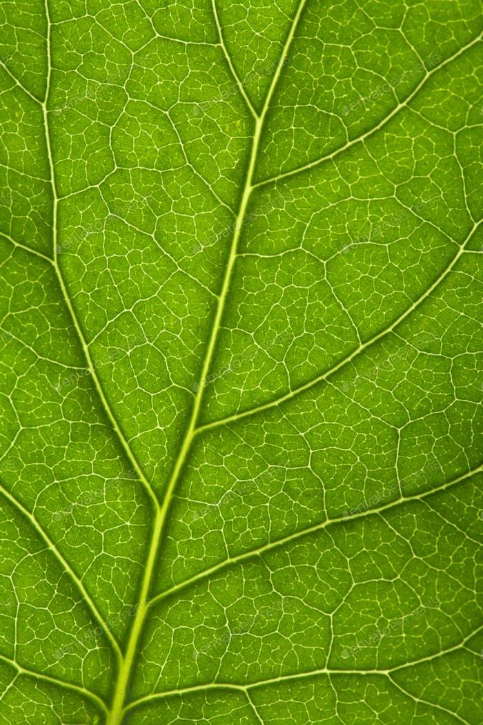 macro of fresh leaf