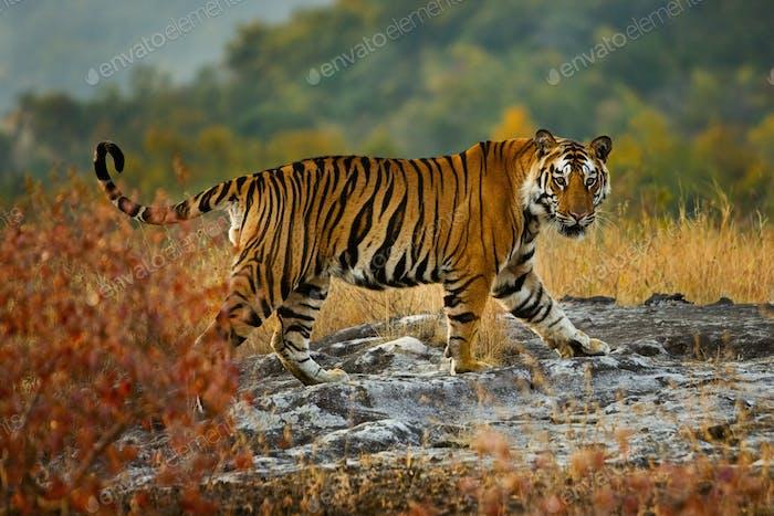 Tiger, Bandhavgarh National Park, Madhya Pradesh, India