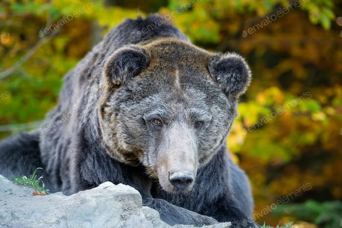 Bear (Ursus arctos) in autumn forest