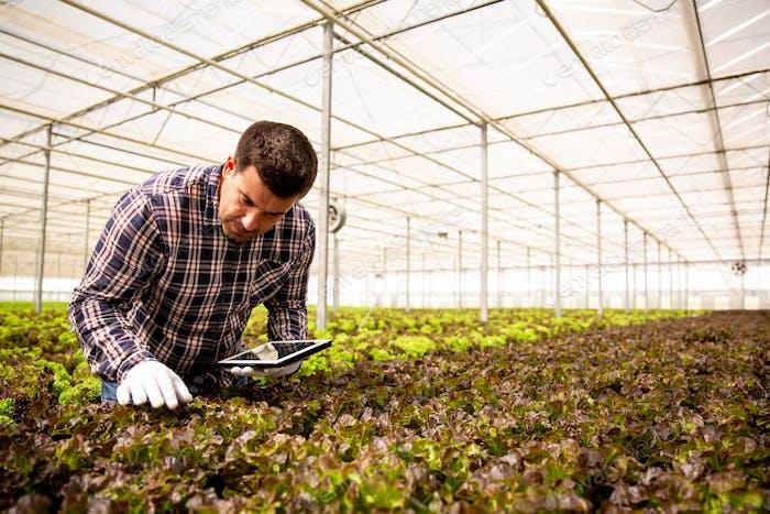 Парниковый работник изучает салатные растения с таблеткой в руках