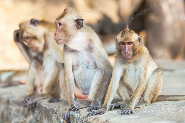 Family of monkeys.  monkey family