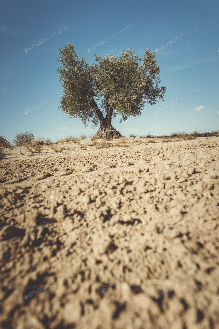 One olive tree
