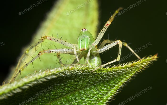 Green Lynx Spider in Belize