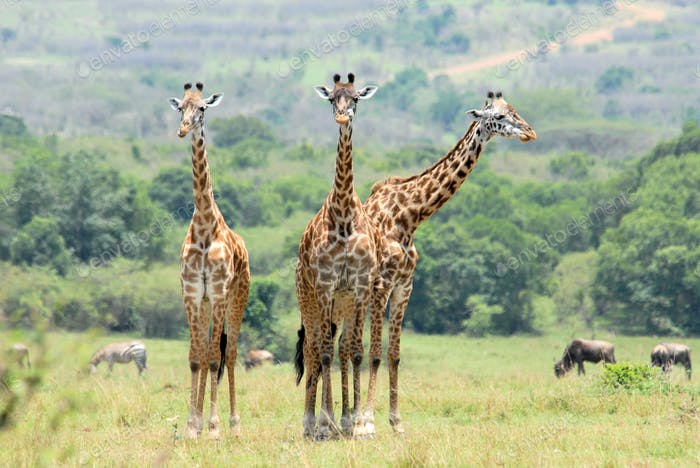 Three standing giraffes