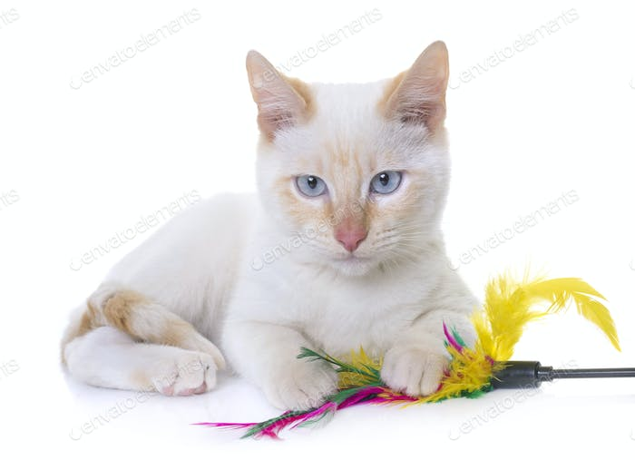 white kitten in studio