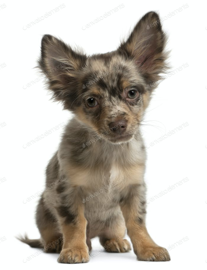 Chihuahua, 4 months old, sitting in front of white background