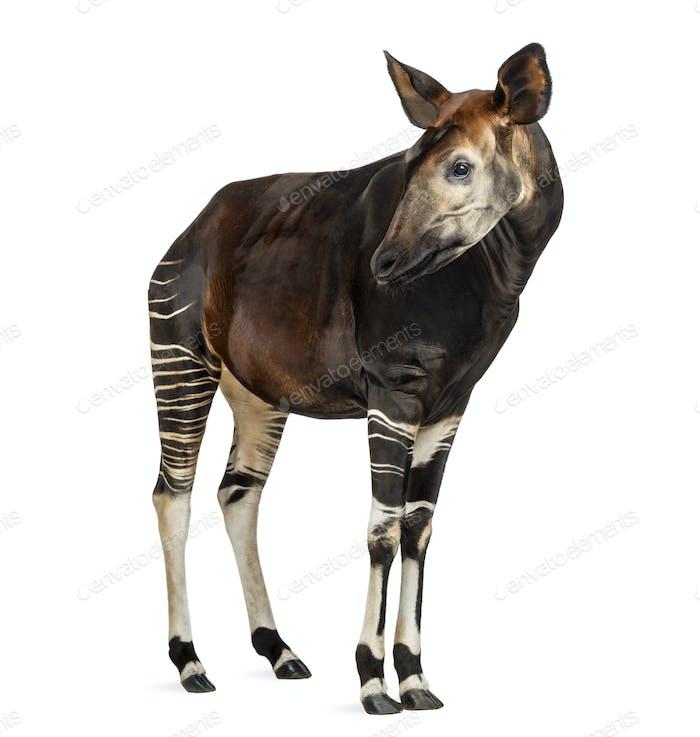 Okapi stehend, wegschauend, Okapia Johnstoni, isoliert auf weiß