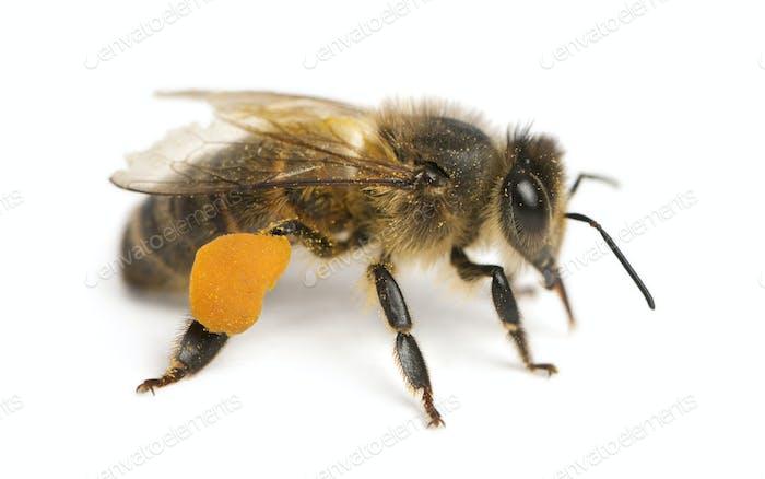 Western honey bee or European honey bee, Apis mellifera, carrying pollen-