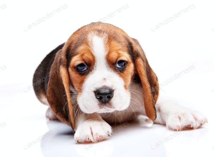 Beagle Welpe auf weißem Hintergrund