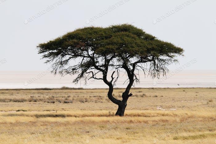 Baum am Etosha Pan im Nationalpark in Namibia