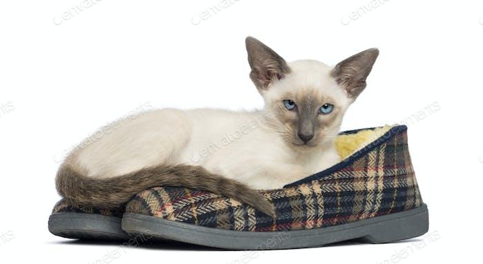 Oriental Shorthair kitten, 9 weeks old, lying on pair of slippers against white background