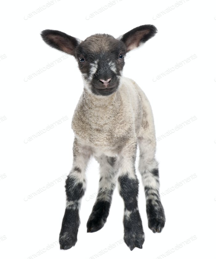 Black and white Lamb facing the camera (15 days old)