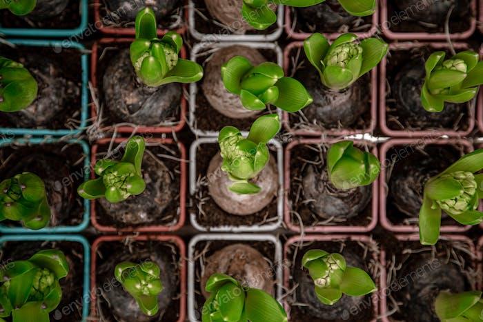 Hintergrund, mit vielen Hyazinthen Blumenzwiebeln.