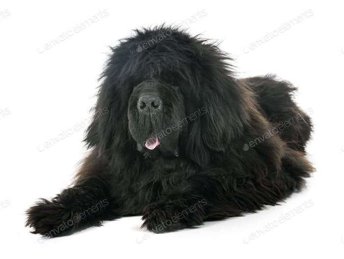 tibetan mastiff in studio
