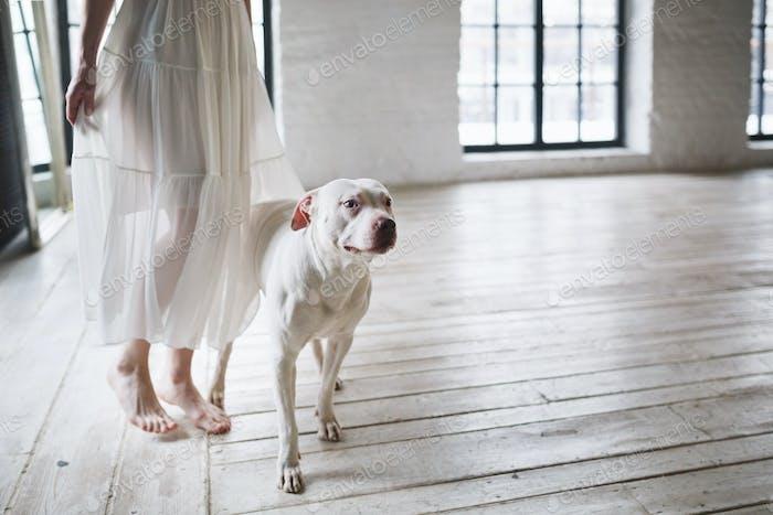 Large white Pitbull dog next to its owner.