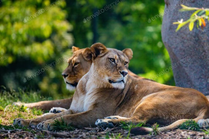 Lions pride resting in shade in nature