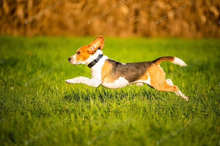Hund, reiner Rasse Beagle Springen und Laufen wie verrückt durch Morgentau in herbstlicher Sonneneinstrahlung