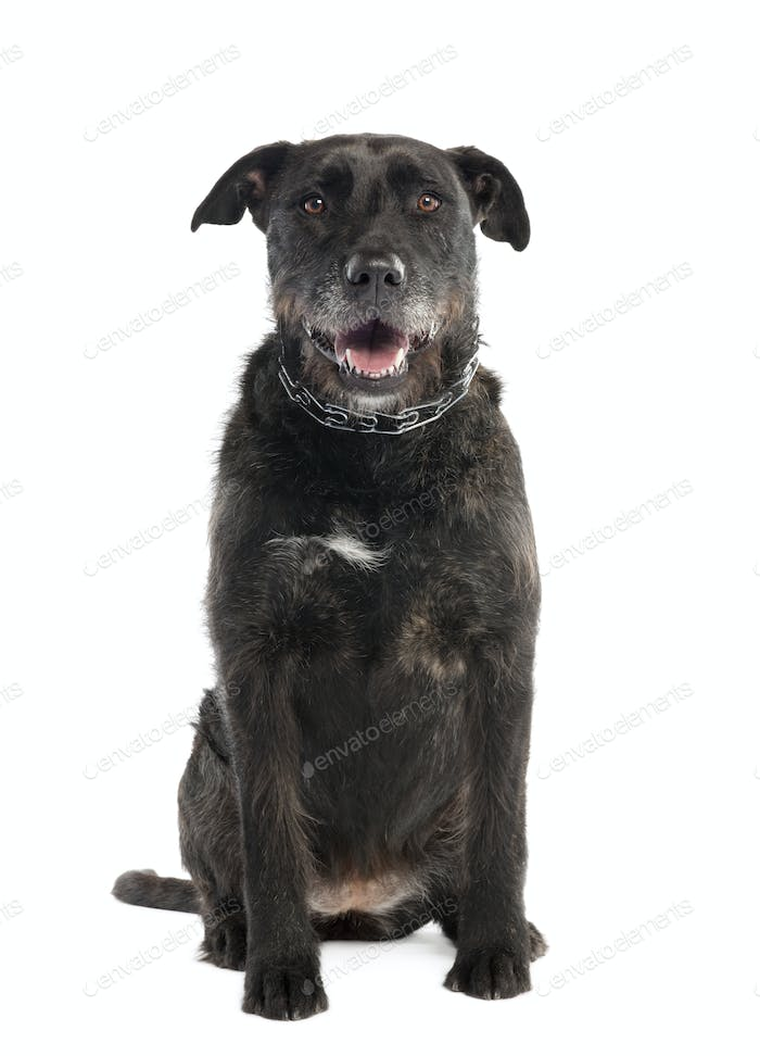 Mixed-Breed Dog between a bernese mountain and an american staffordshire terrier
