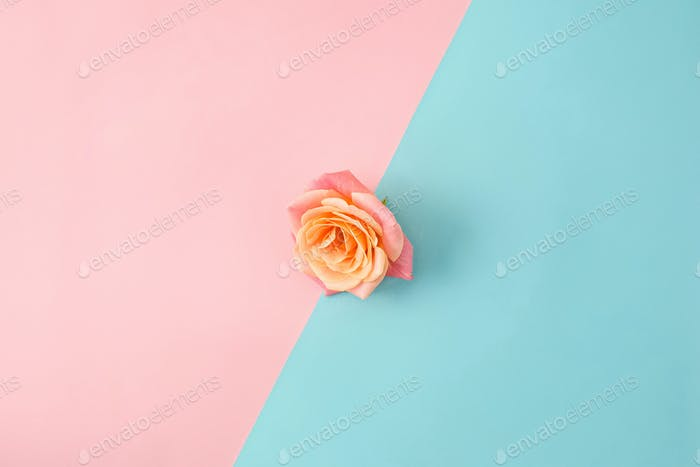 The rose on colorful modern background