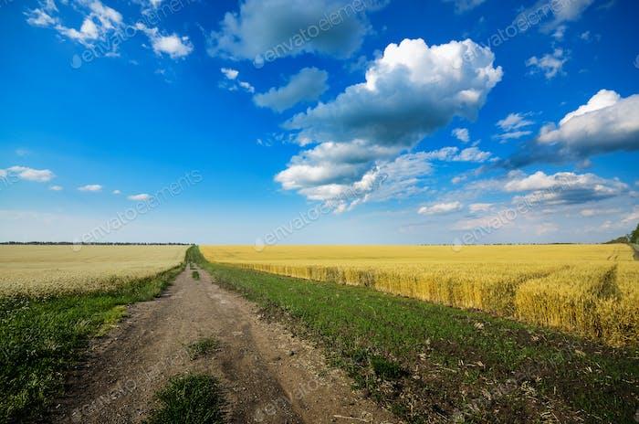 Weizenfeld Sommer sonniger Tag unter bewölktem blauen Himmel