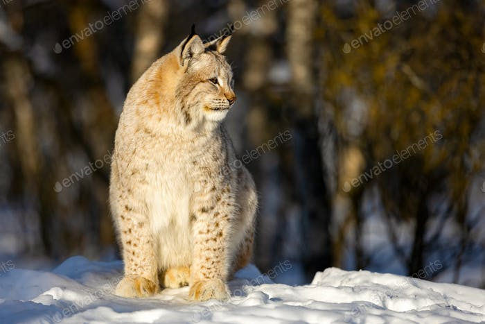Lynx sitting on snow while looking away