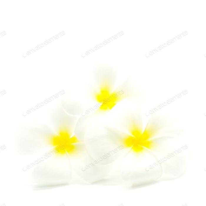 weiß und gelb Plumeria