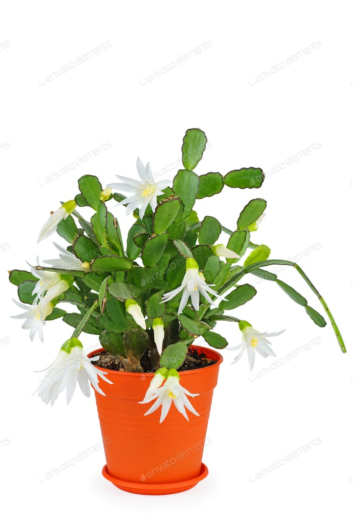Blooming white schlumbergera in a pot