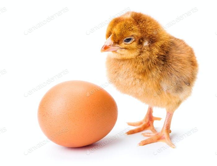 Little newborn brown chicken with egg