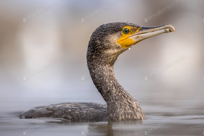 Great cormorant swimming