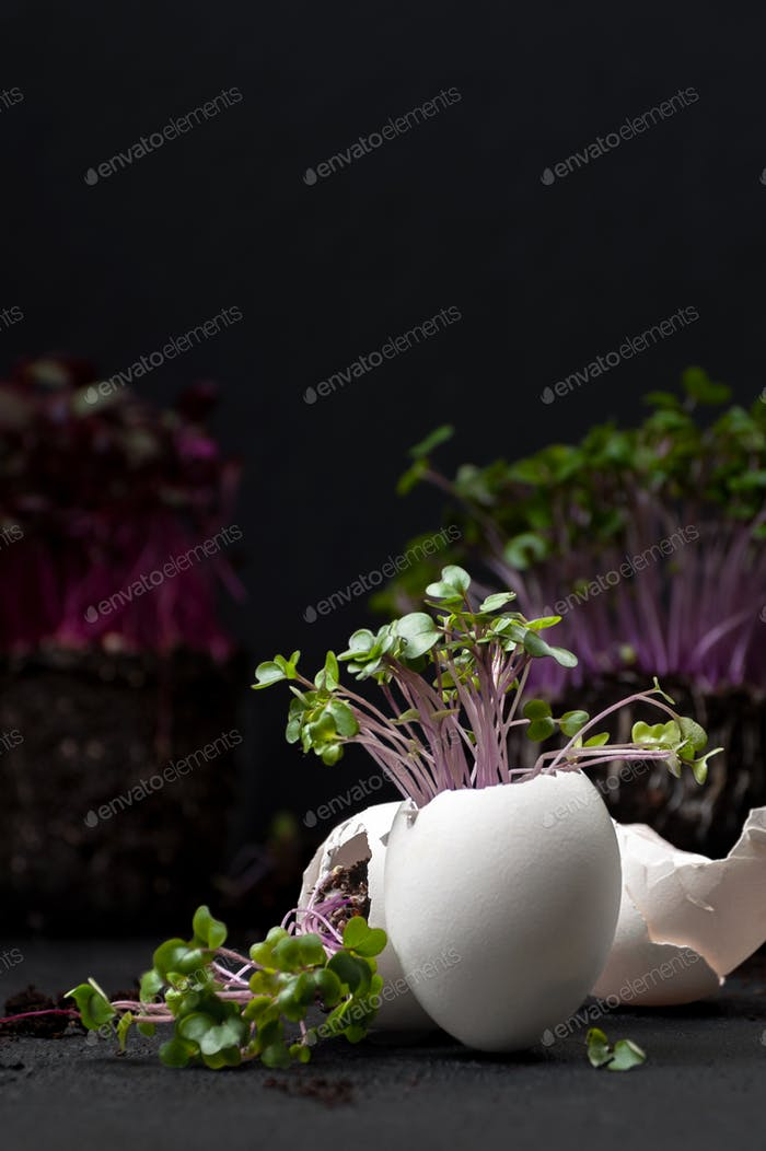 Mini cress-salad grows in the eggshell on a black background.