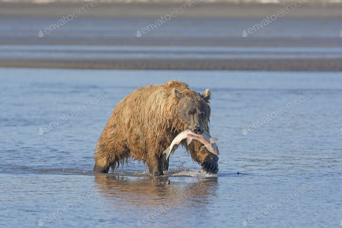 Grizzly Bear Carrying its Salmon