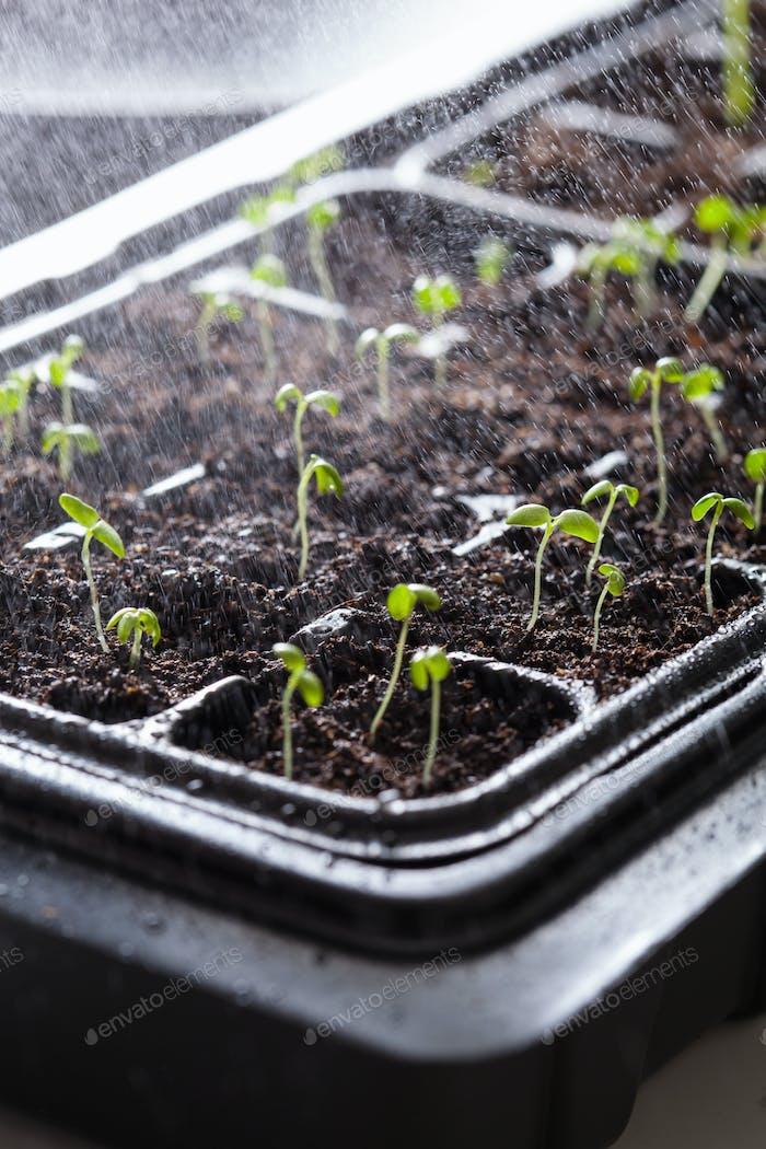 Bewässerung Sämling Pflanzen wächst in Keimung Kunststoffschale