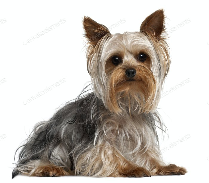 Yorkshire Terrier, 1 year old, lying in front of white background