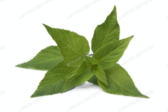 Frische Blätter von Ananas Salbei